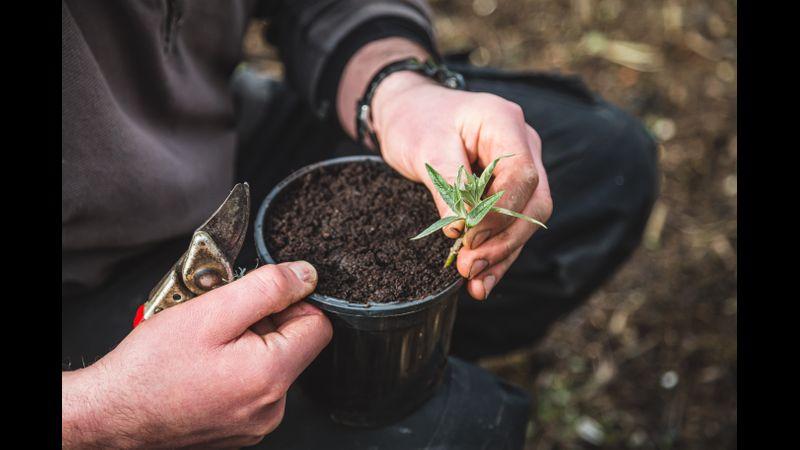 Taking cuttings
