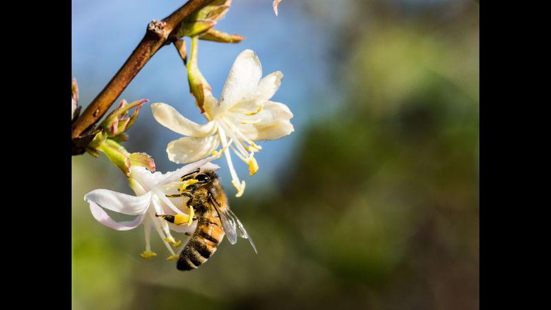 Bee on Winter Honeysuckle