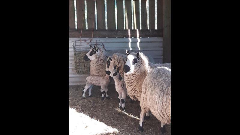 Kerry Hill sheep