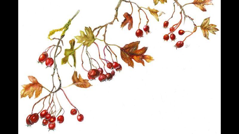 Botanical Drawing and Illustration