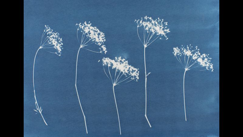 Flowers photogram on cyanotype, sun print in Prussian blue
