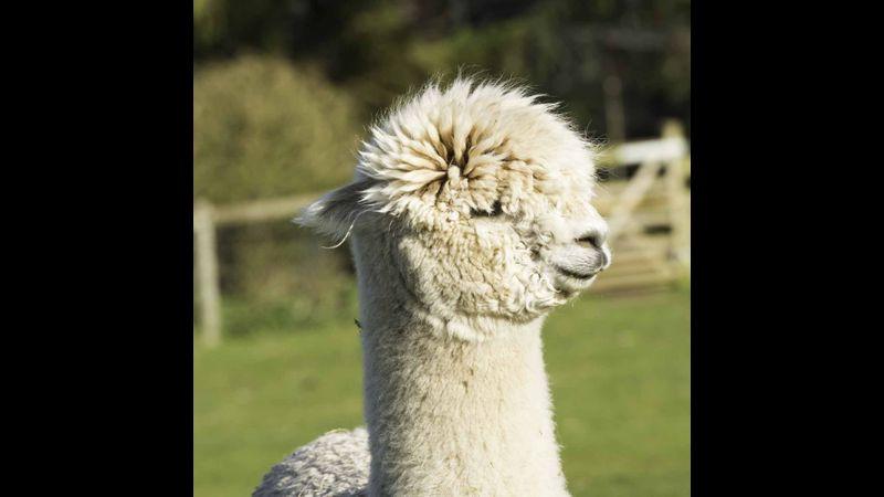 The lovely Khal from the Burnt Fen Alpacas herd