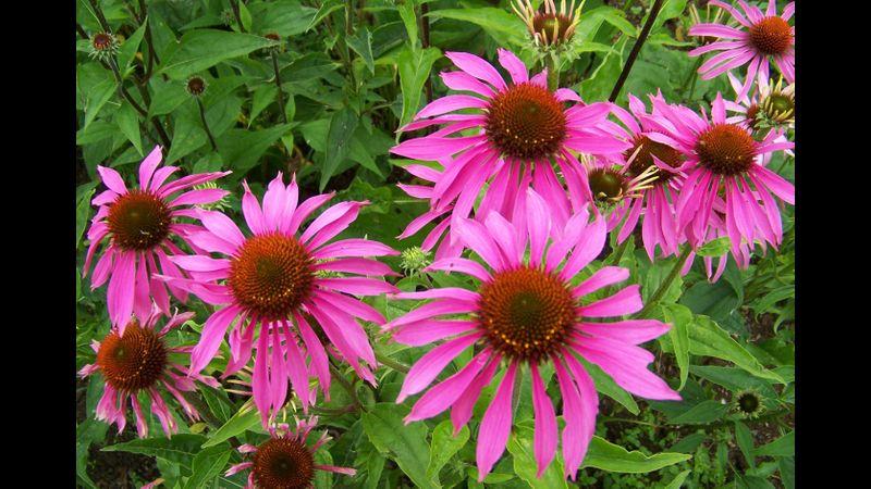 Echinacea in my garden