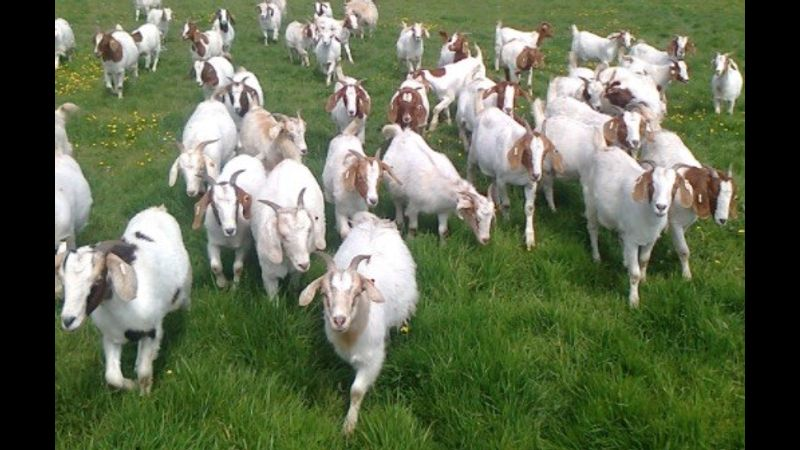 Basic goat keeping one day course in Lancashire