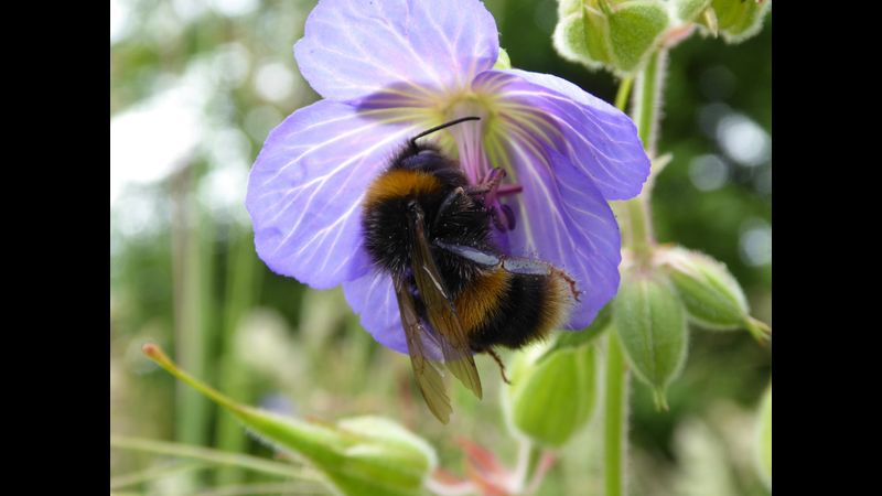 A Bumblebee out in the garden