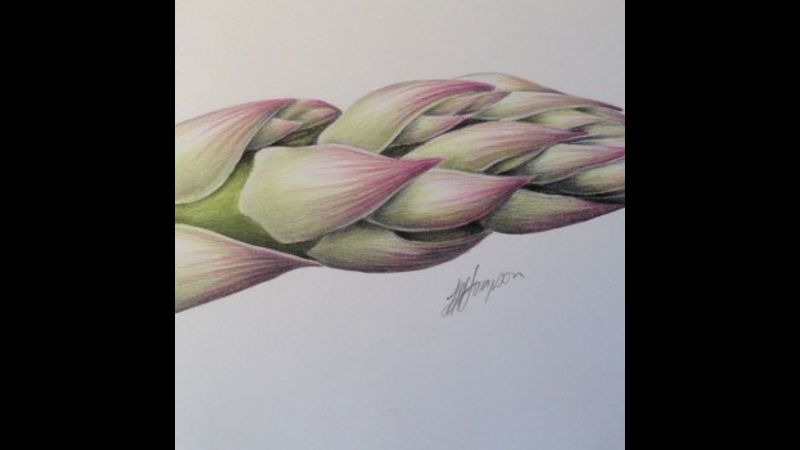 'Asparagus' botanical illustration course with Linda Hampson at The Old Kennels