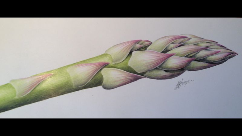 Asparagus Botanical coloured pencil drawing with Linda Hampson at The Old Kennels