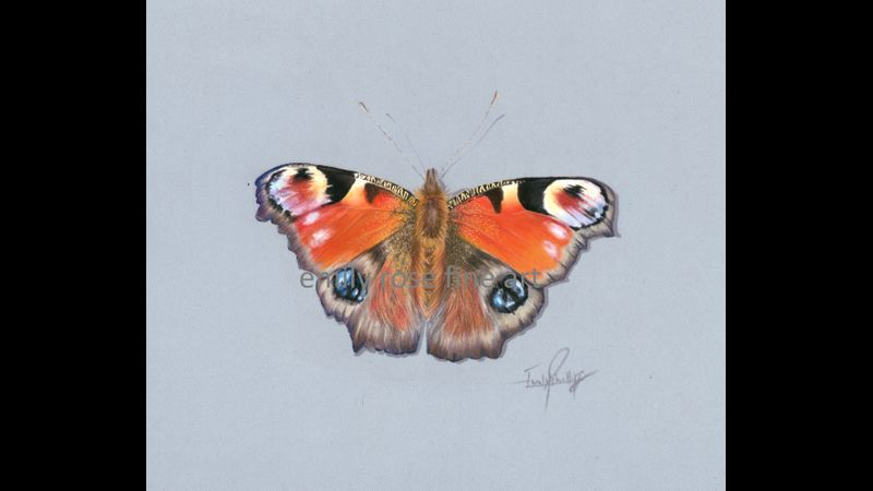 Draw a peacock butterfly