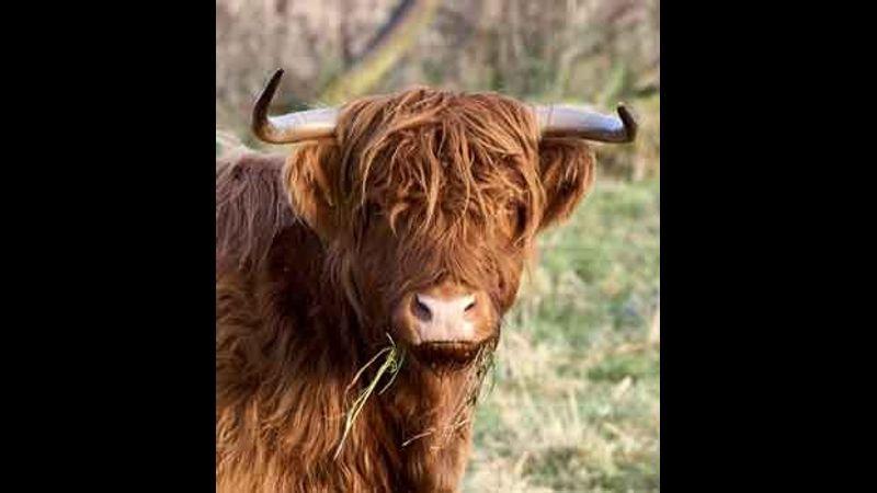 Scruffy Highland!