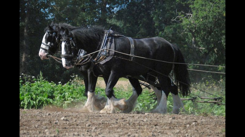 Shire horses at Acton Scott