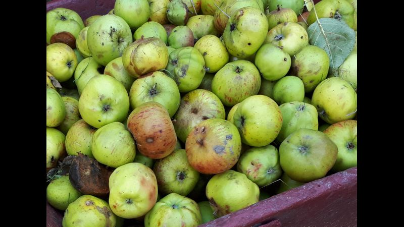 Apples from the orchard at Acton Scott Historic Working Farm