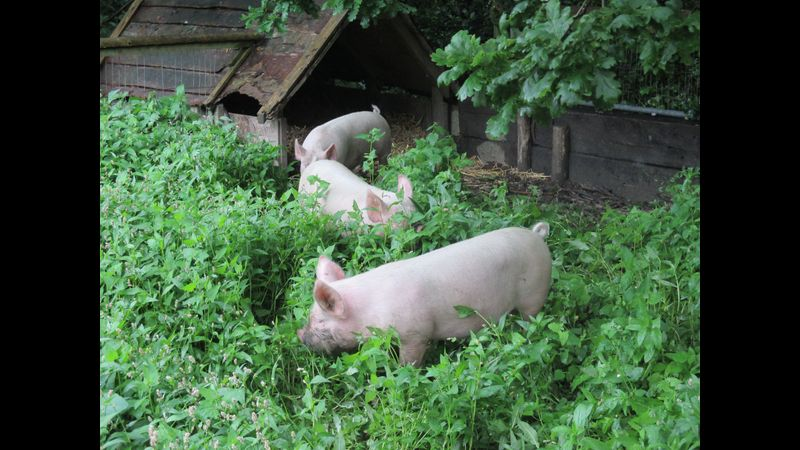 Little pigs clearing the weeds