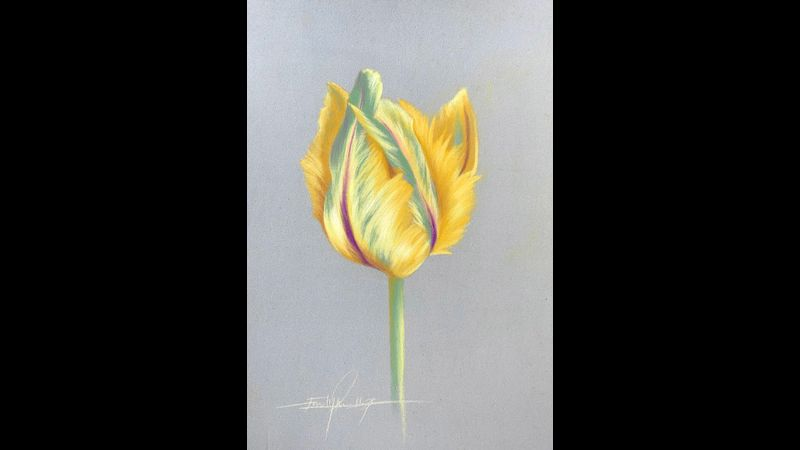 Pastel Pencil tulip by Emily Rose Fine Art