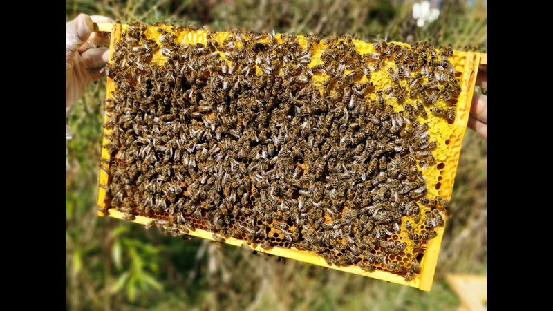 Understanding how to read a frame of bees is key for all beginner beekeepers.