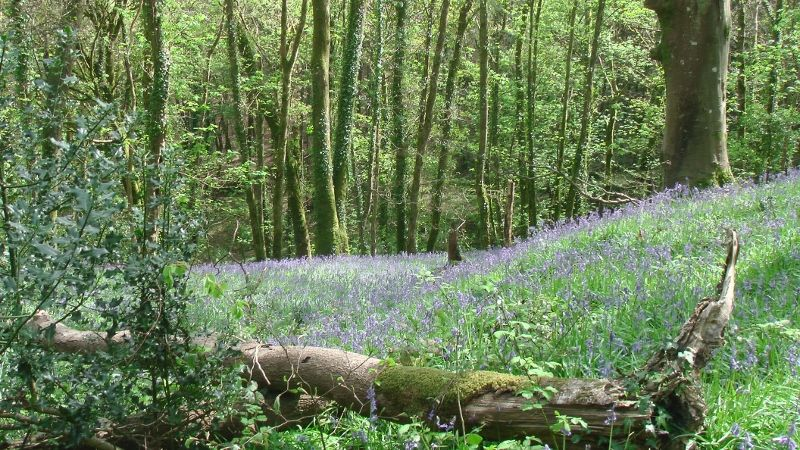 The bluebells at Treraven woods
