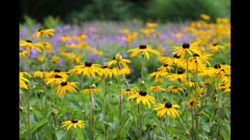 Rudbeckia, a late season yellow daisy with gorgeous dark centres